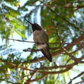 Balboa Park Hummingbird