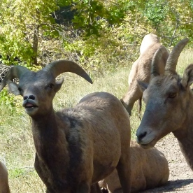 Bighorn Sheep, Colorado