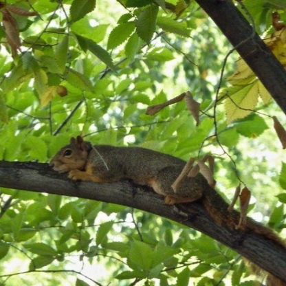Colorado State University - Squirrel with collar